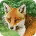 狐狸逃出魔法森林